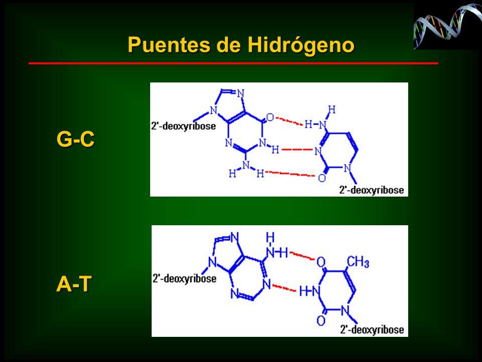 Puentes de Hidrógeno G-C A-T