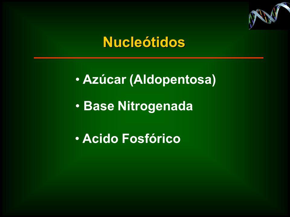 Nucleótidos Azúcar (Aldopentosa) Base Nitrogenada Acido Fosfórico