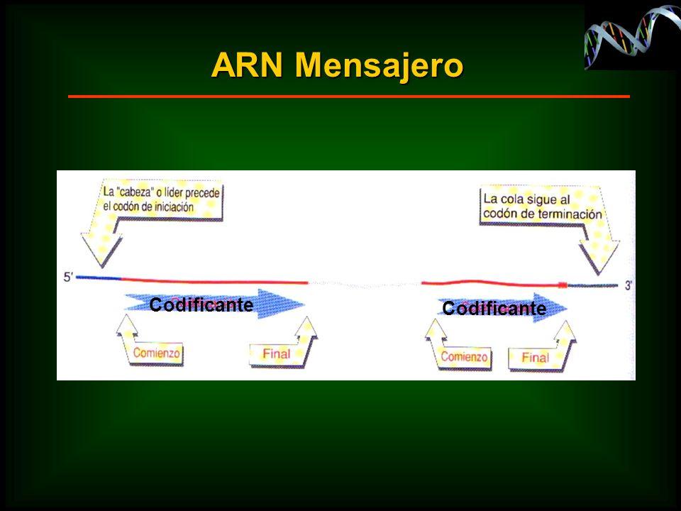 ARN Mensajero Codificante