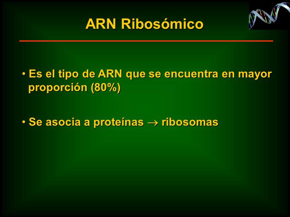 ARN Ribosómico Es el tipo de ARN que se encuentra en mayor