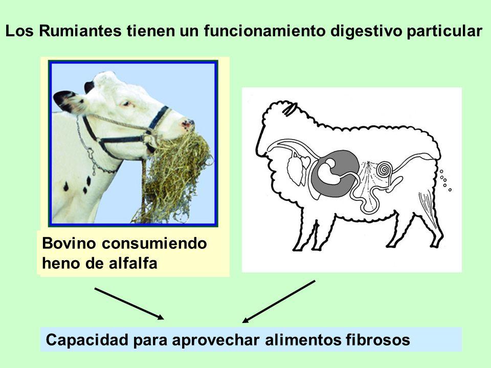 Los Rumiantes tienen un funcionamiento digestivo particular