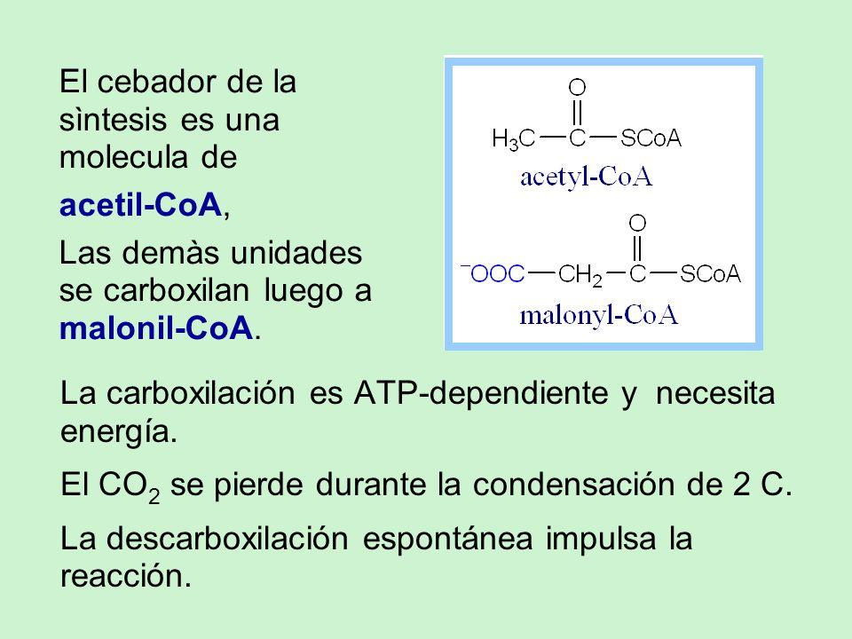 El cebador de la sìntesis es una molecula de