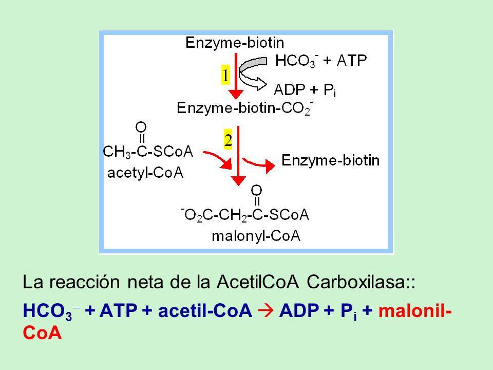La reacción neta de la AcetilCoA Carboxilasa::