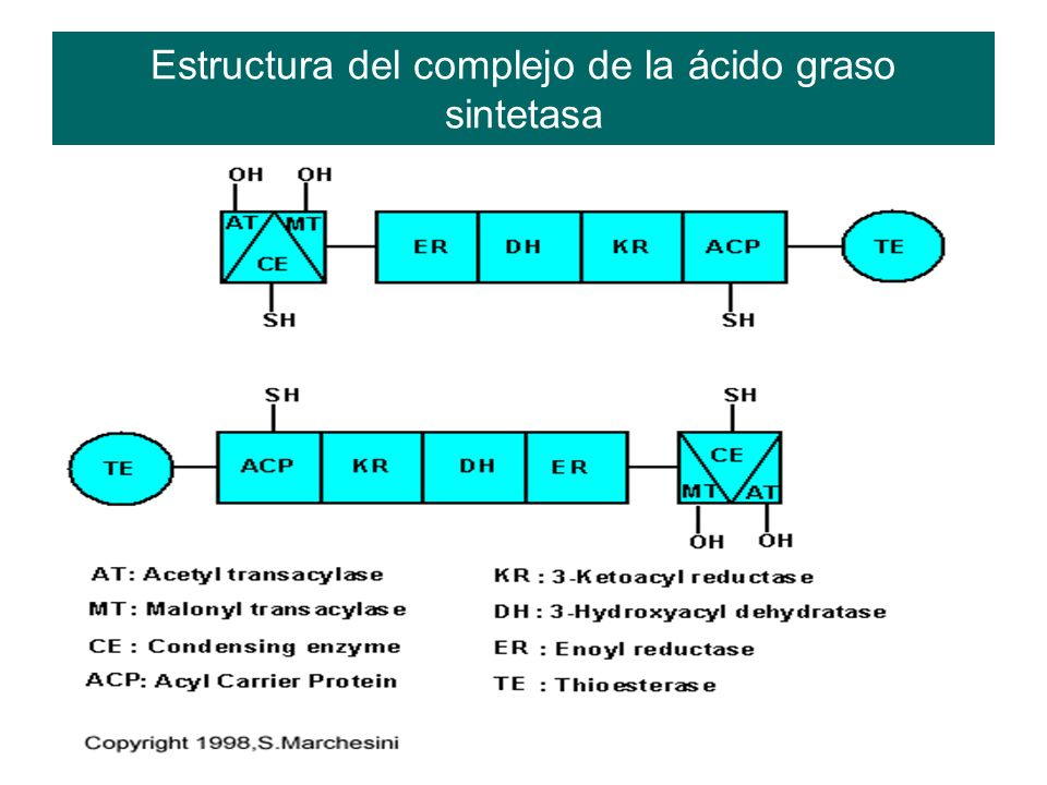 Estructura del complejo de la ácido graso sintetasa