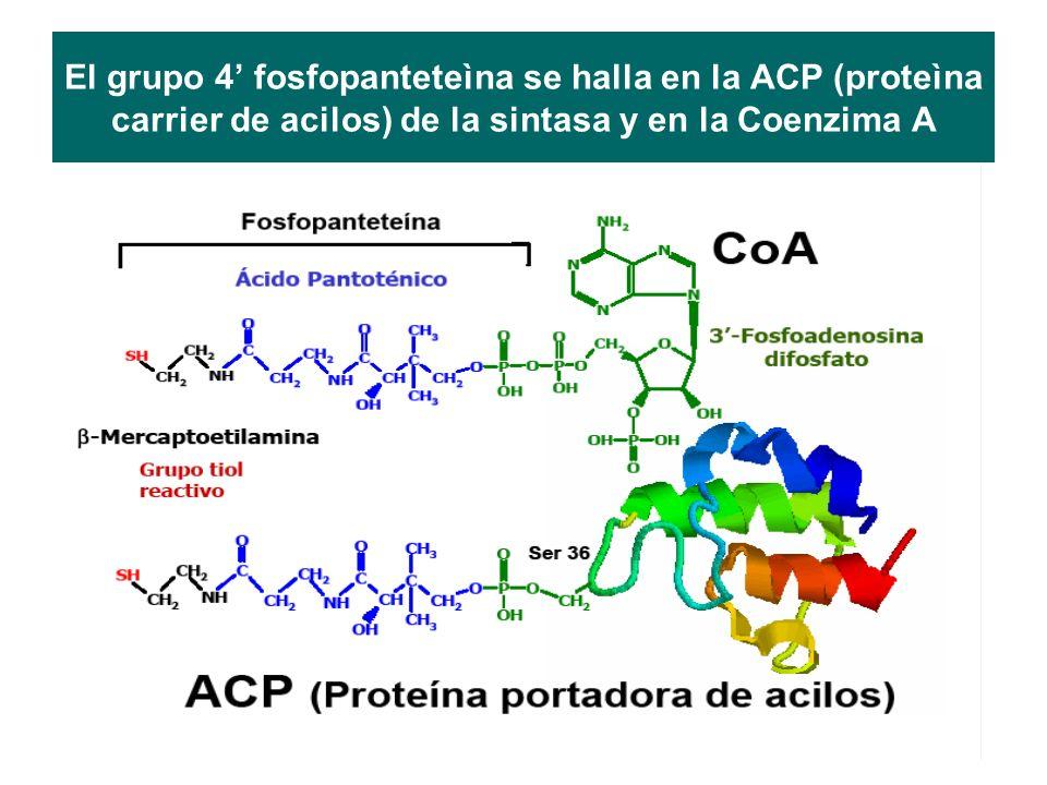 El grupo 4' fosfopanteteìna se halla en la ACP (proteìna carrier de acilos) de la sintasa y en la Coenzima A