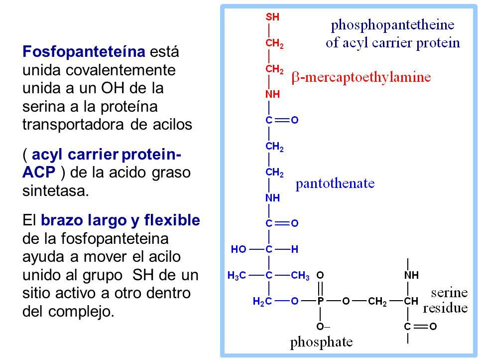 Fosfopanteteína está unida covalentemente unida a un OH de la serina a la proteína transportadora de acilos
