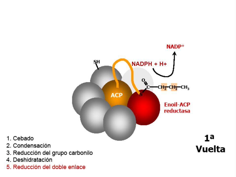 NADPH + H+