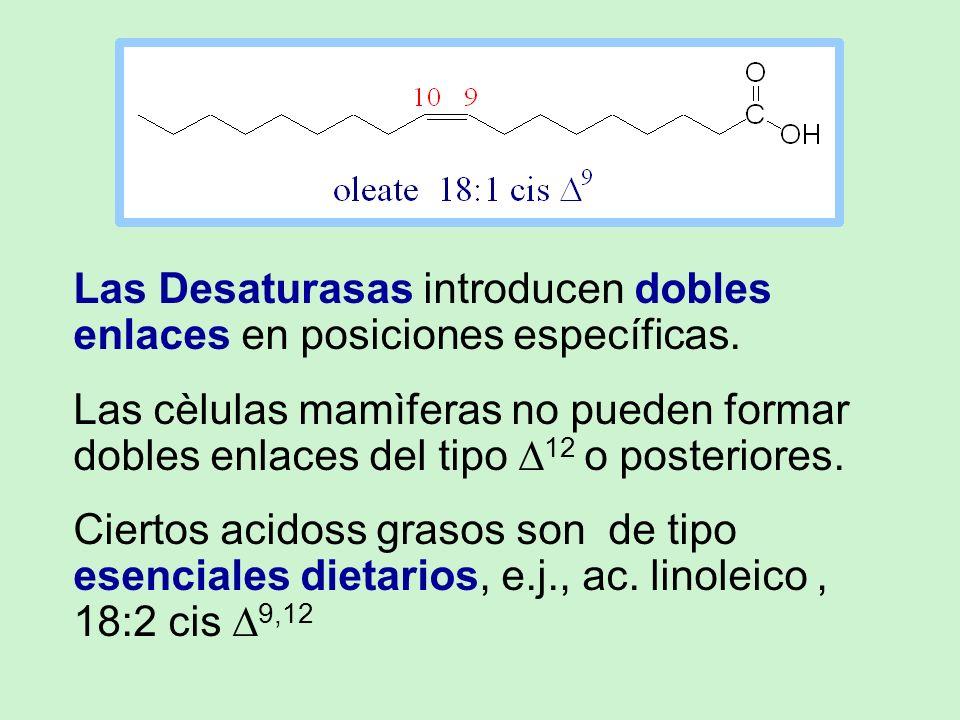 Las Desaturasas introducen dobles enlaces en posiciones específicas.