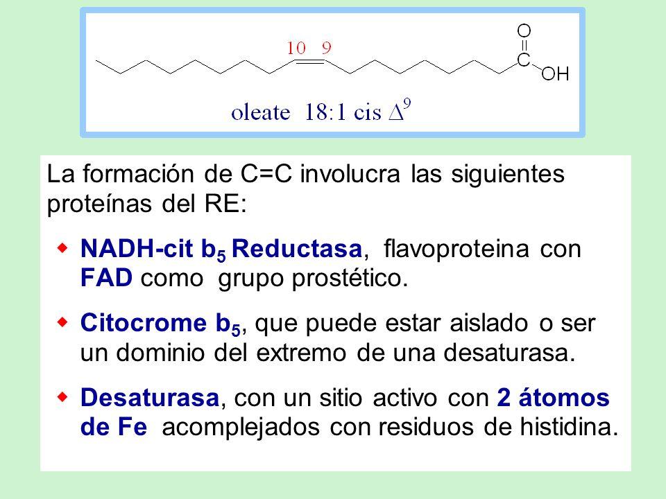 La formación de C=C involucra las siguientes proteínas del RE: