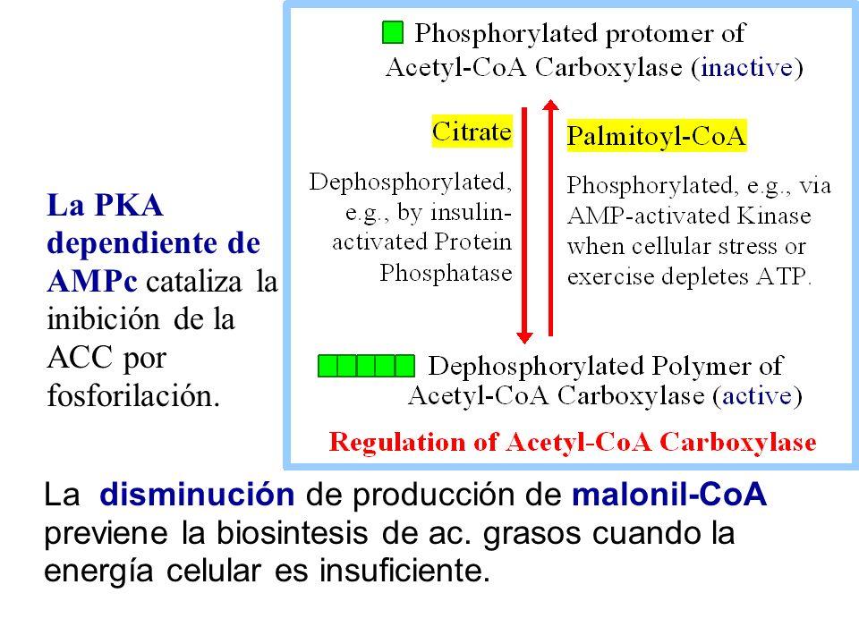 La PKA dependiente de AMPc cataliza la inibición de la ACC por fosforilación.