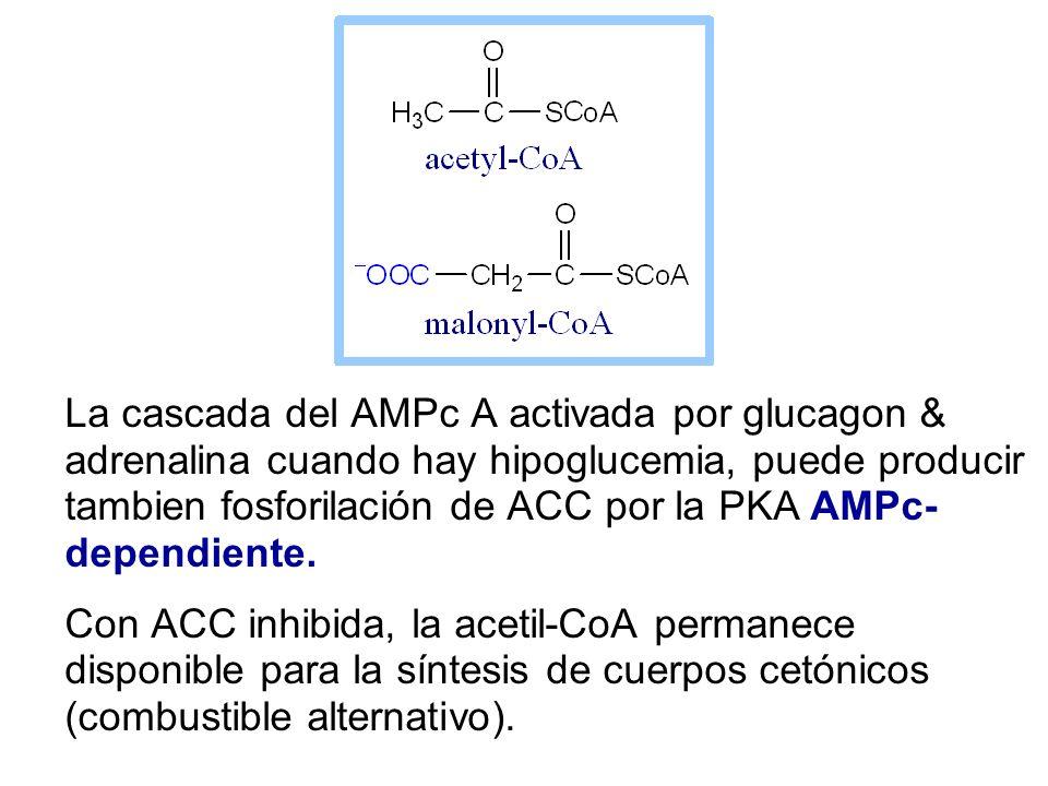 La cascada del AMPc A activada por glucagon & adrenalina cuando hay hipoglucemia, puede producir tambien fosforilación de ACC por la PKA AMPc-dependiente.