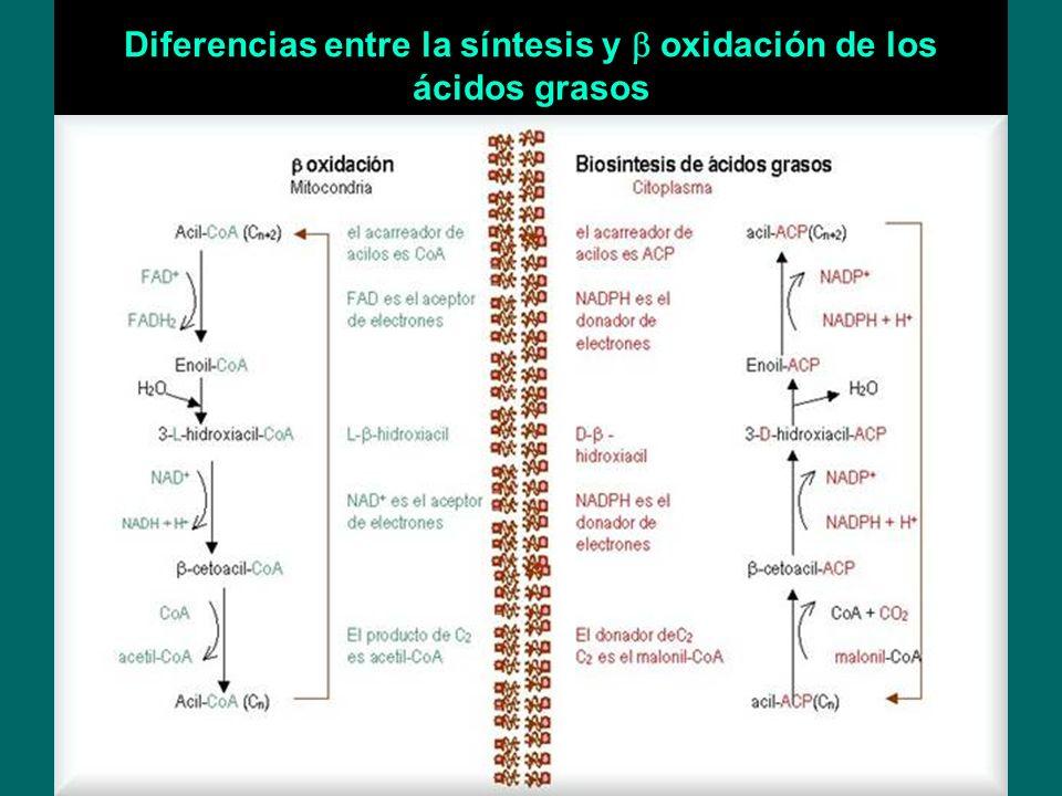 Diferencias entre la síntesis y b oxidación de los ácidos grasos
