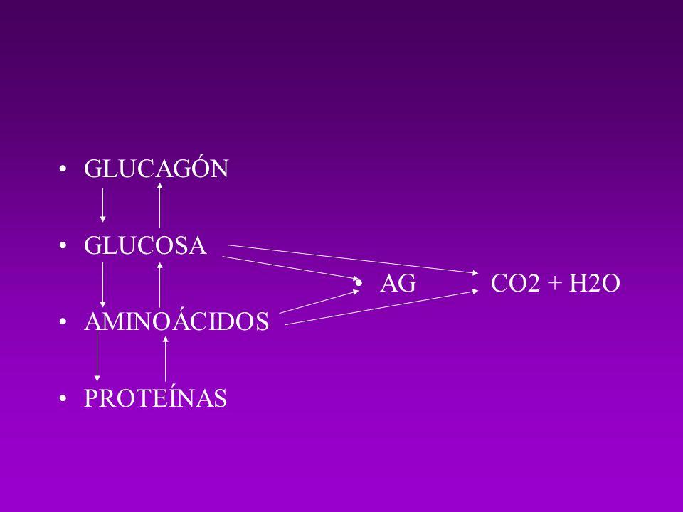 GLUCAGÓN GLUCOSA AMINOÁCIDOS PROTEÍNAS AG CO2 + H2O