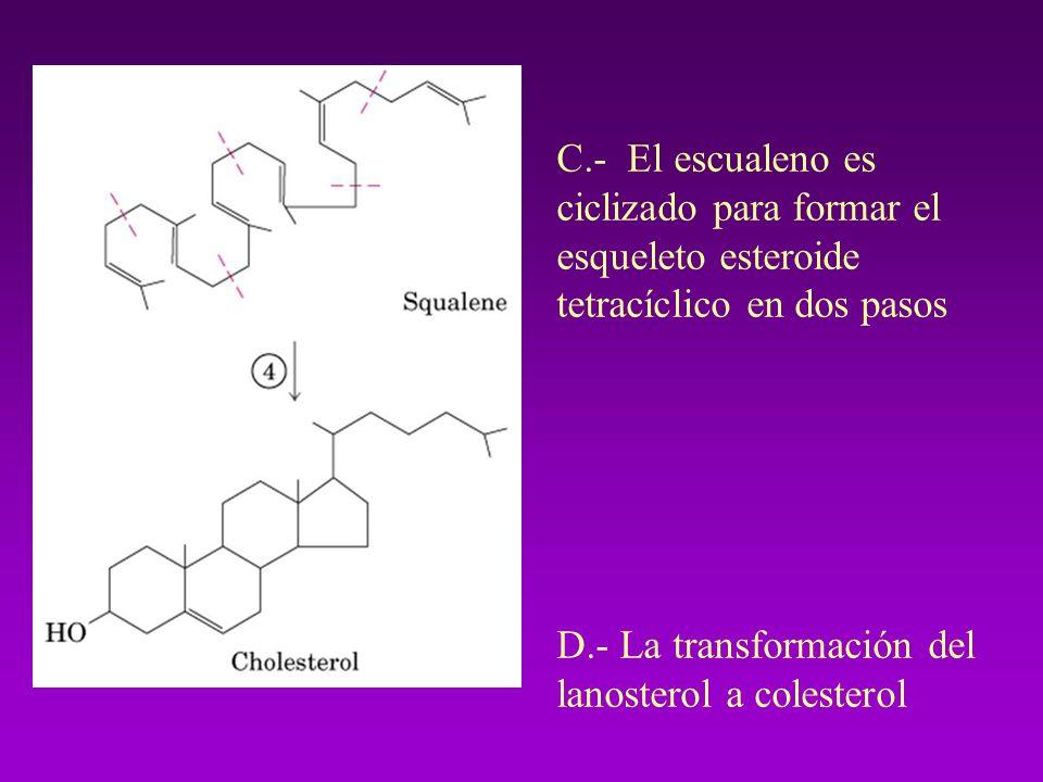 C.- El escualeno es ciclizado para formar el esqueleto esteroide tetracíclico en dos pasos