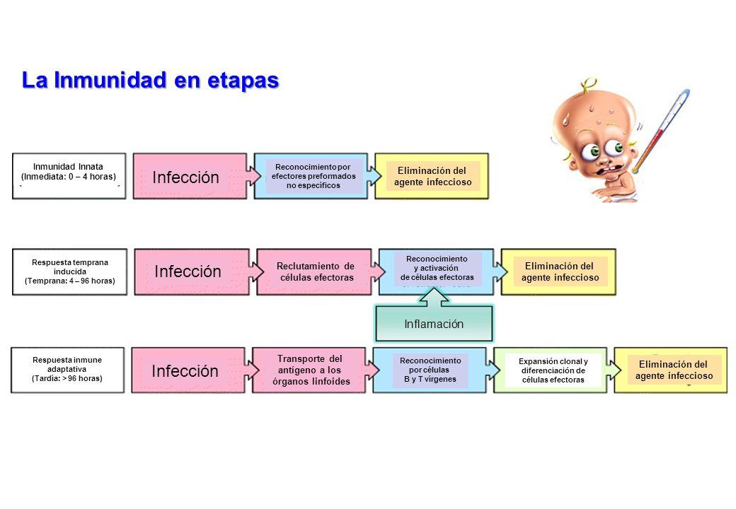 La Inmunidad en etapas Infección Inflamación Eliminación del