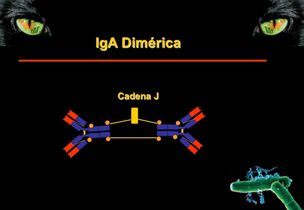 IgA Dimérica Cadena J