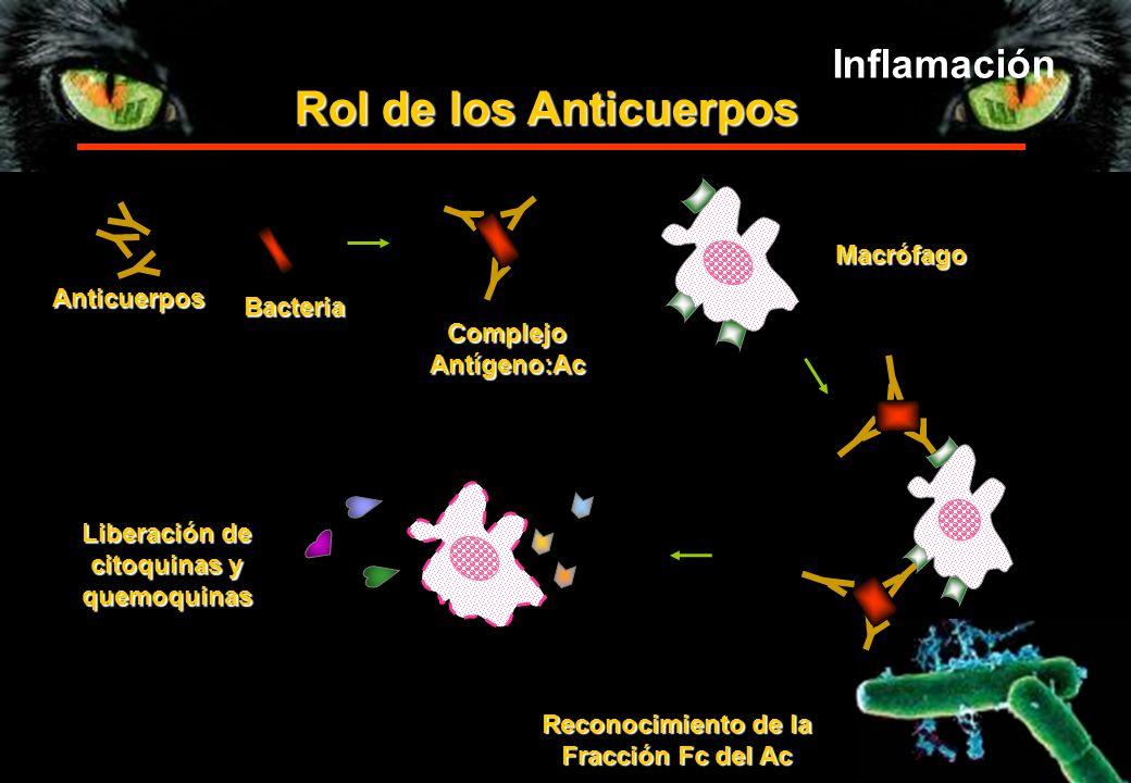 Rol de los Anticuerpos Inflamación Macrófago Anticuerpos Bacteria