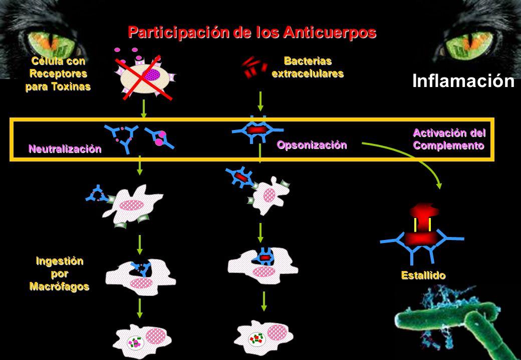 Inflamación Participación de los Anticuerpos