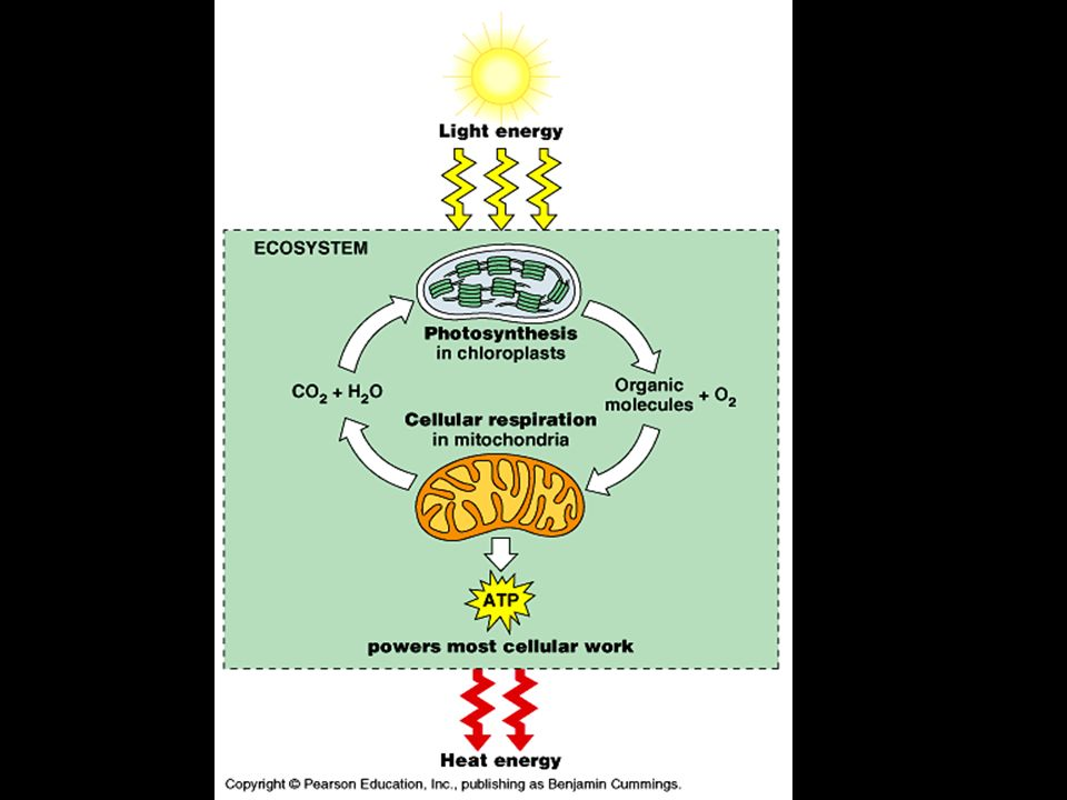 Why are both Photosynthesis and Cell Respiration important to Ecosystems
