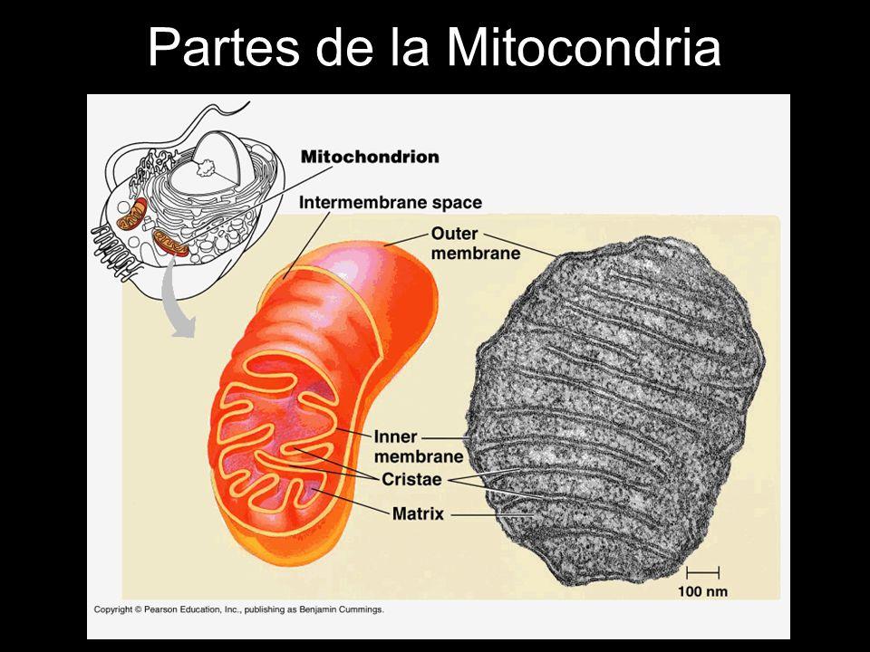 Partes de la Mitocondria