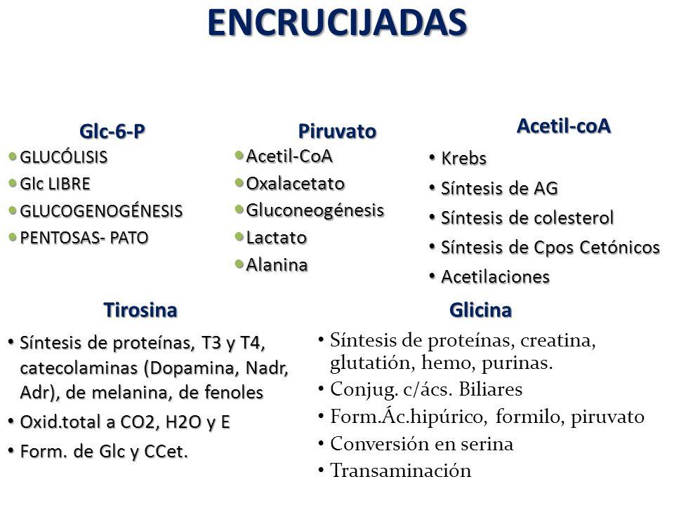 ENCRUCIJADAS Acetil-coA Glc-6-P Piruvato Tirosina Glicina Acetil-CoA