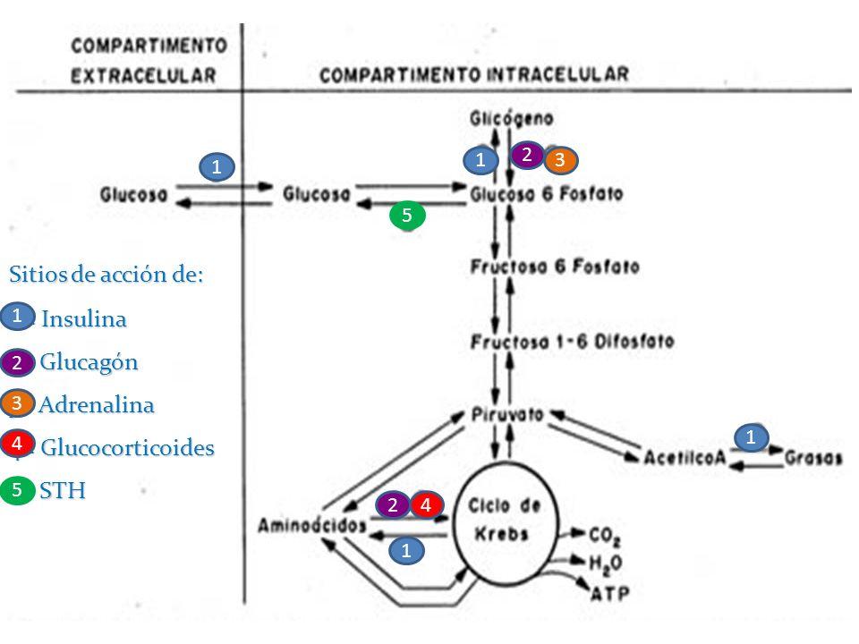 Sitios de acción de: 1 = Insulina 2= Glucagón 3= Adrenalina