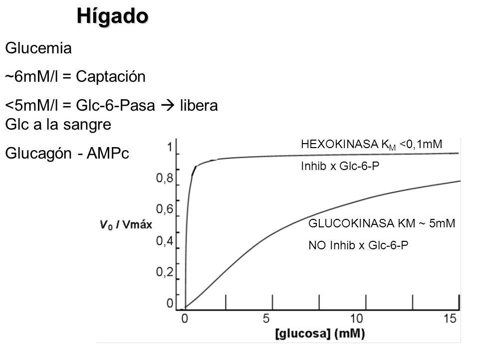 Hígado Glucemia ~6mM/l = Captación
