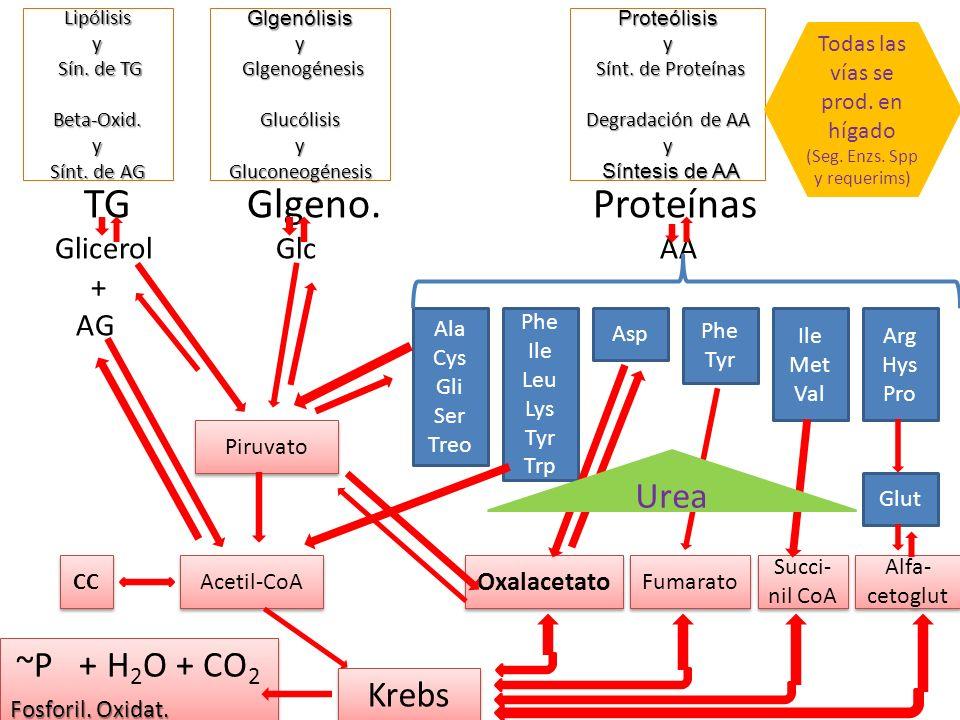 Lipólisis y Sín. de TG Beta-Oxid. y Sínt. de AG