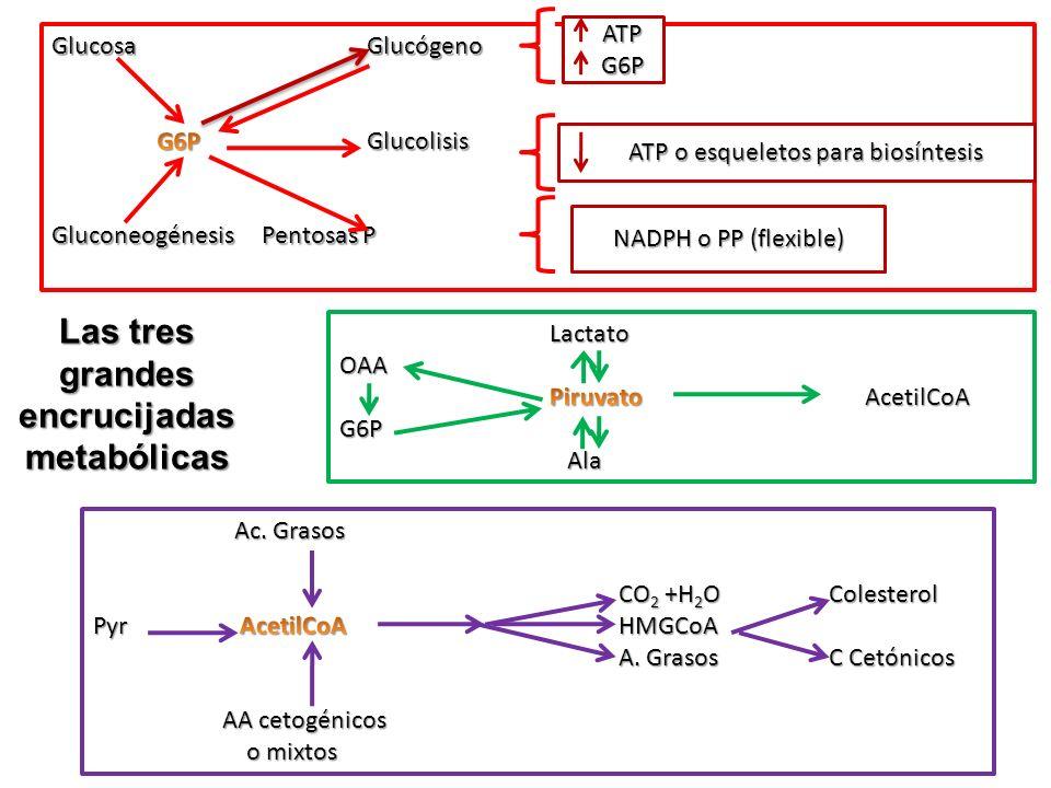 Las tres grandes encrucijadas metabólicas