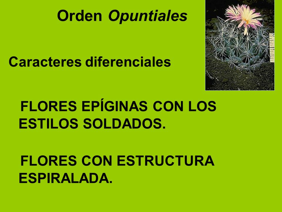 Orden Opuntiales Caracteres diferenciales