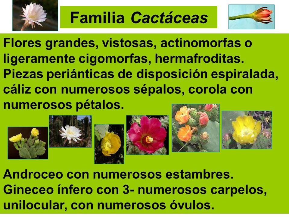 Familia Cactáceas