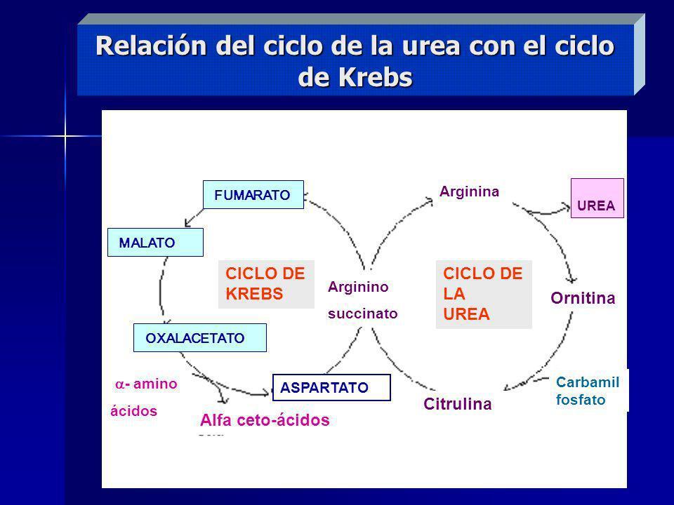 Relación del ciclo de la urea con el ciclo de Krebs