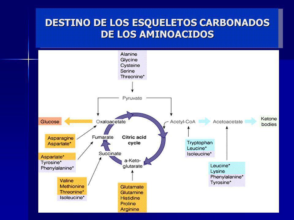 DESTINO DE LOS ESQUELETOS CARBONADOS DE LOS AMINOACIDOS