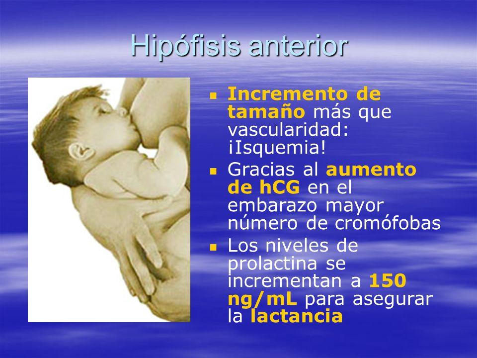 Hipófisis anterior Incremento de tamaño más que vascularidad: ¡Isquemia! Gracias al aumento de hCG en el embarazo mayor número de cromófobas.