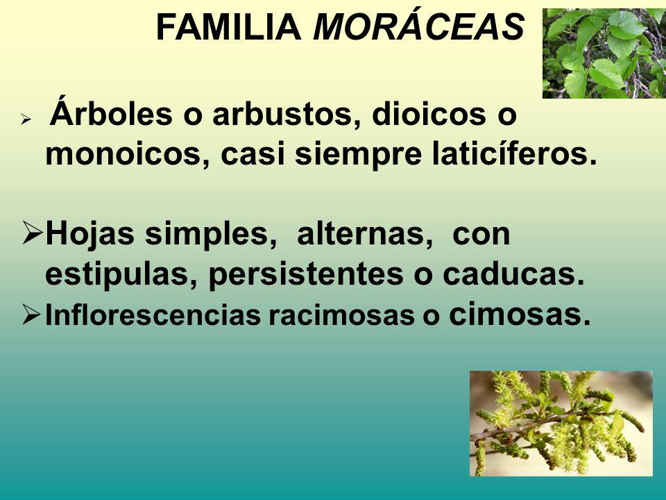 FAMILIA MORÁCEAS Árboles o arbustos, dioicos o monoicos, casi siempre laticíferos. Hojas simples, alternas, con estipulas, persistentes o caducas.