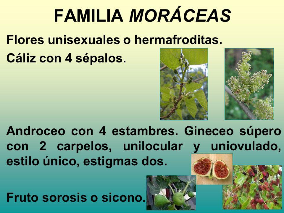 FAMILIA MORÁCEAS Flores unisexuales o hermafroditas.