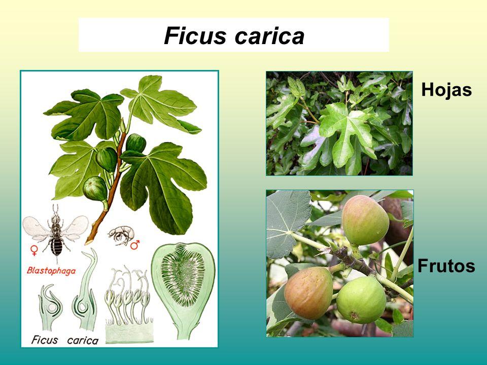 Ficus carica Hojas Frutos
