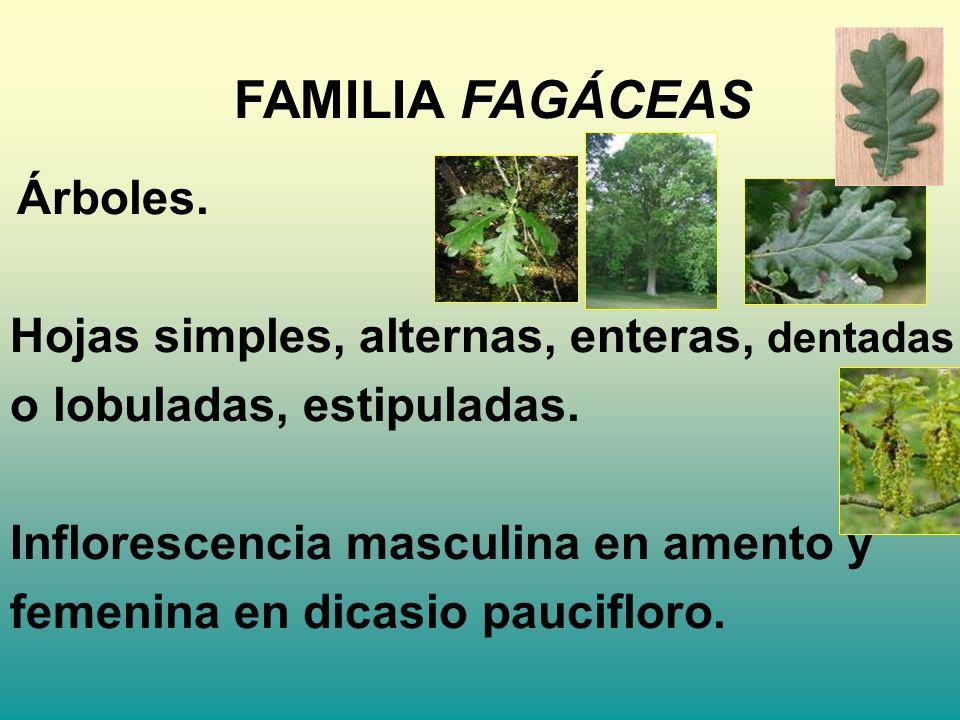 FAMILIA FAGÁCEAS Hojas simples, alternas, enteras, dentadas