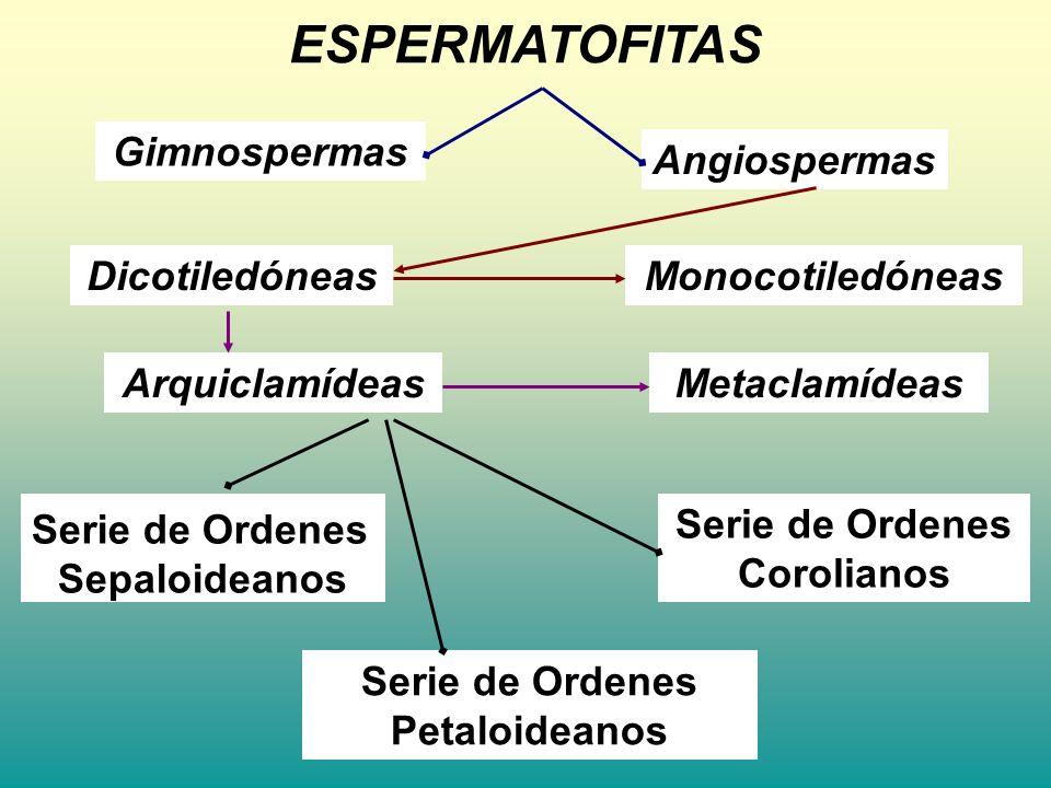 ESPERMATOFITAS Gimnospermas Angiospermas Dicotiledóneas