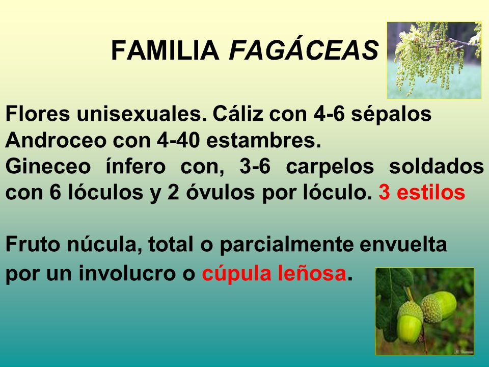 FAMILIA FAGÁCEAS Flores unisexuales. Cáliz con 4-6 sépalos