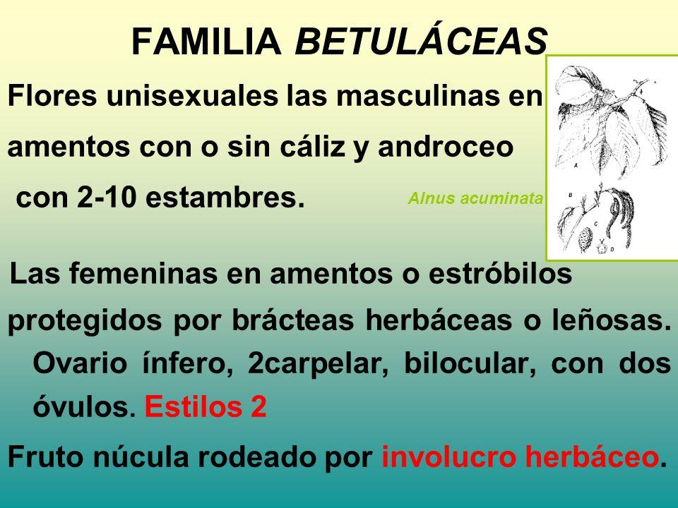 FAMILIA BETULÁCEAS Flores unisexuales las masculinas en