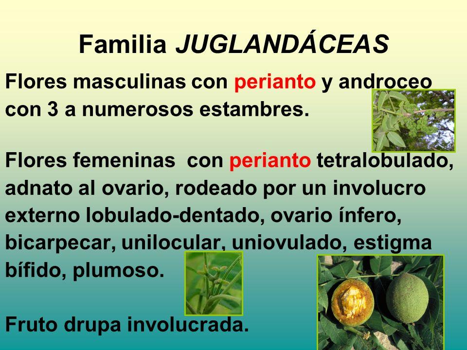 Familia JUGLANDÁCEAS Flores masculinas con perianto y androceo