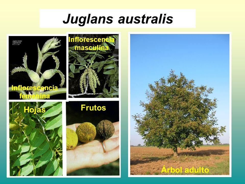 Juglans australis Frutos Hojas Árbol adulto Inflorescencia masculina
