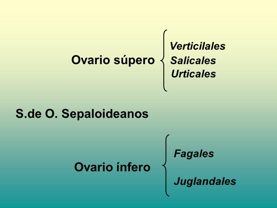 Urticales S.de O. Sepaloideanos Fagales Ovario súpero Salicales