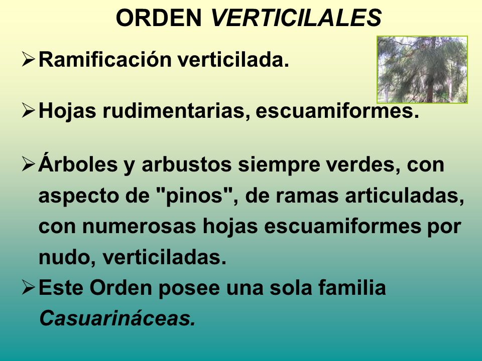 ORDEN VERTICILALES Ramificación verticilada.