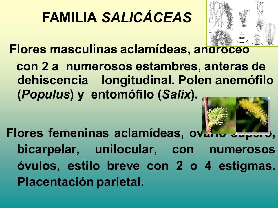 FAMILIA SALICÁCEAS Flores masculinas aclamídeas, androceo.
