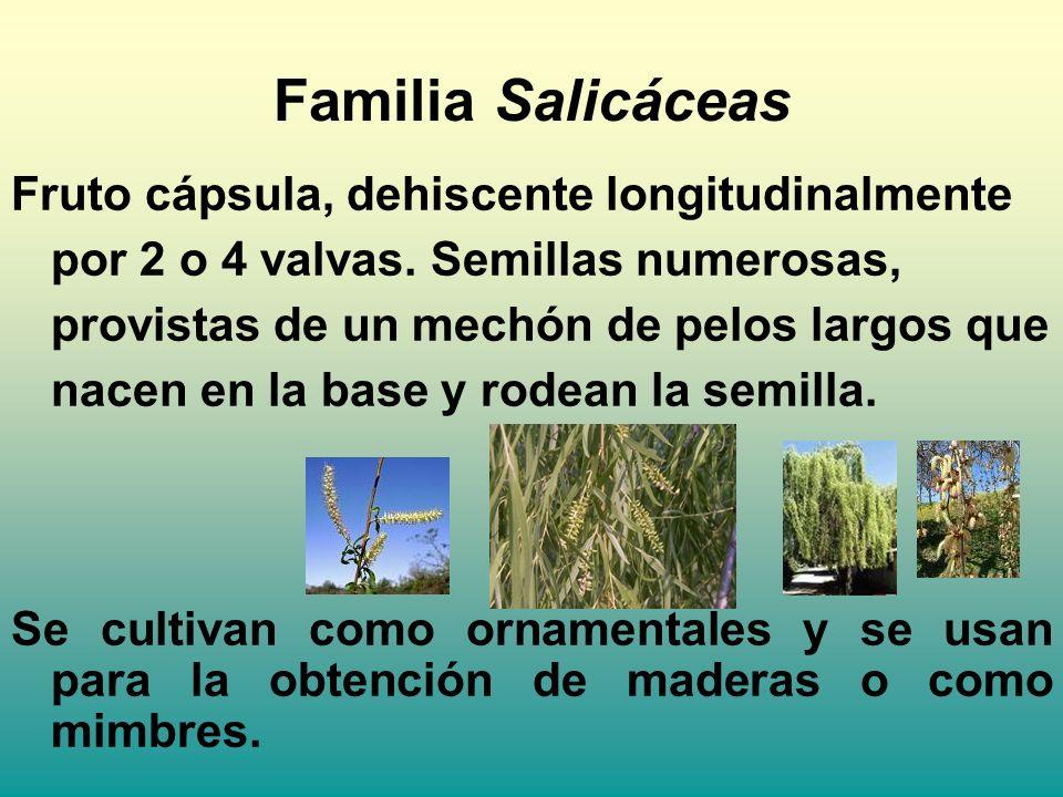 Familia Salicáceas