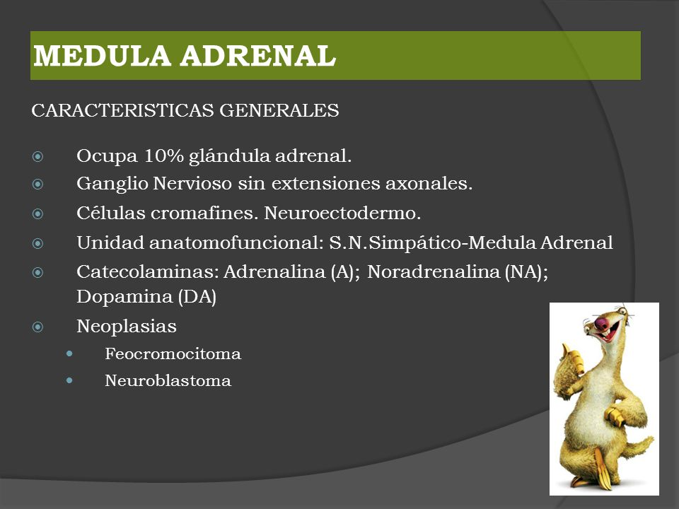 MEDULA ADRENAL CARACTERISTICAS GENERALES Ocupa 10% glándula adrenal.