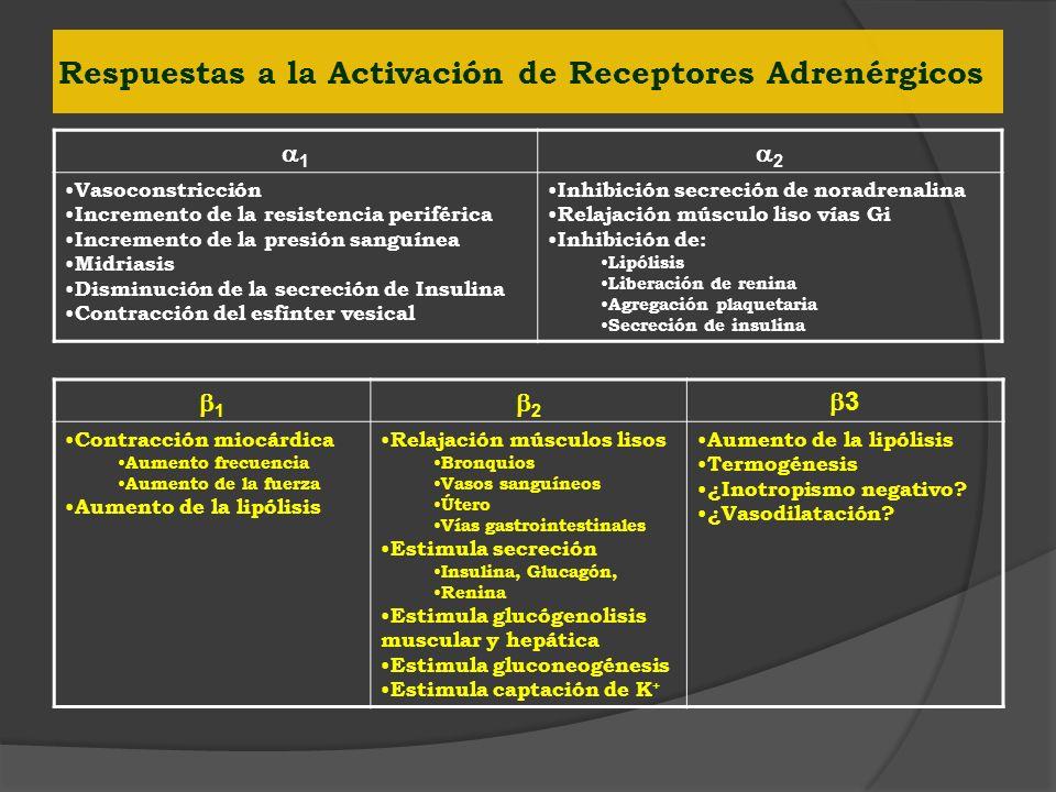Respuestas a la Activación de Receptores Adrenérgicos