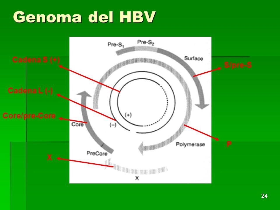 Genoma del HBV Cadena S (+) S/pre-S Cadena L (-) Core/pre-Core P X